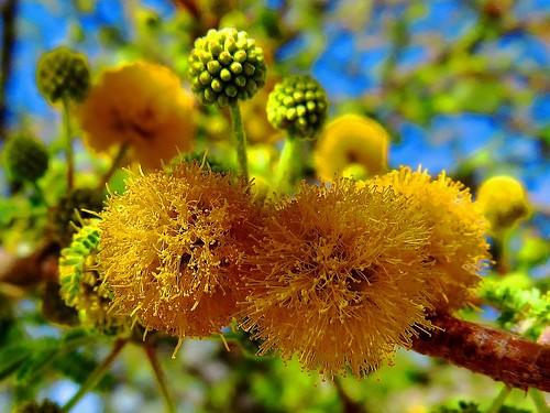 Flor de espinillo blanco/Needle bush flower