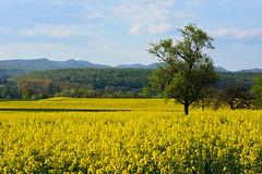 Paysage des Vosges du Nord (Excalibur67) Tags: trees yellow jaune landscape nikon contemporary sigma arbres alsace paysage colza d7100 vosgesdunord 1770f284dcoshsmc