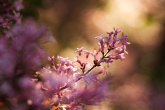 The scent of lilacs (frantiekl) Tags: life pink detail nature colors spring bush blossom bokeh outdoor creative depthoffield lilac bloom flowering colorsofnature