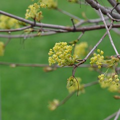 lime (ladybugdiscovery) Tags: flowers flower tree garden spring maple