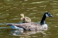 Hitching A Ride (phat5toe) Tags: nature water birds nikon wildlife feathers goslings canadagoose avian wigan flashes d300 greenheart lancashirewildlifetrust sigma150500