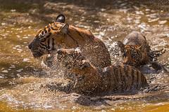 ADS_0000103567 (dickysingh) Tags: wildlife tiger tigers ranthambore indianwildlife ranthambhorenationalpark