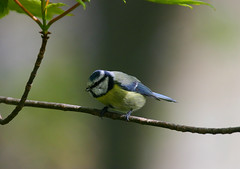 Hello Mr, nice to meet you (RobK5) Tags: bird interesting wildlife bluetit rozelle songbird ayrshire gardenbird