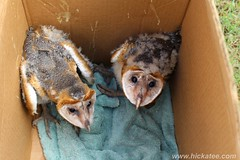 Rescued Barn Owl Chicks - Tyto alba (Hickatee) Tags: forest rainforest alba belize wildlife culture toledo jungle owl puntagorda barnowl tytoalba tyto hickatee toledodistrict hickateecottages hickateebelize hickateepuntagorda