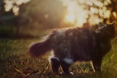 Wildest Moments (iliketobeweird) Tags: sunset cats nature animals cat furry sweet bokeh kitty poland domesticated