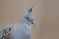 Crested Pigeon (0cyphaps lophotes) (Ian Colley Photography) Tags: portrait bird backyard 500mm crestedpigeon inverell canoneos7dmarkii 0cyphapslophotes