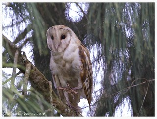 Barn Owl (Tyto alba) BANO - (Best appreciated larger) Australian Pines...Tucked in Under.