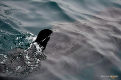 Basking Shark (mcgrath.dominic) Tags: shark cocork basking