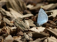 Holly Blue (ukstormchaser (A.k.a The Bug Whisperer)) Tags: uk blue sunlight macro animal animals butterfly spring afternoon path wildlife may butterflies holly milton keynes basking