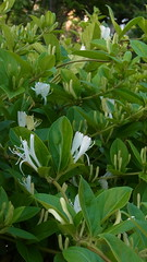 Sweet, refreshing scent (nofrills) Tags: flowers plants plant flower green floral whiteflower flora honeysuckle shrub whiteflowers japanesehoneysuckle whiteandgreen