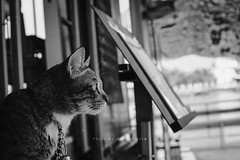 grey cat (amillzslusho) Tags: cat gain nonthaburi kohkret a6300