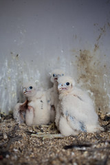 Inside the Eyrie [explored!!] (reclaimednj) Tags: birds 35mm canon is newjersey young nj falcon f2 birdofprey 2016 peregrinefalcon nestlings