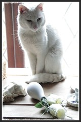 It Wasn't Me (KeithJustKeith) Tags: flowers pet cats white animal rose cat canon eos domestic salford 2016 snowie cc100 100d keithjustkeith keithjustkeith2016