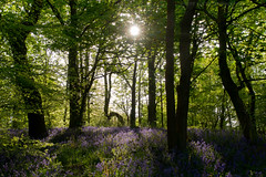 Morning has Broken. (Celebrating over 2 million views. Thank you) Tags: morning trees light green nature bluebells happy spring woods woodlands shadows view purple walk may lancashire shade sunburst 2016 shinshine