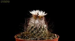 Turbinicarpus schmiedickeanus  ssp. dickisoniae (Nyxtofulakas) Tags: cactus plant flower nature succulent cactaceae spines ssp turbinicarpus schmiedickeanus dickisoniae