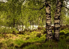 Silver Birch. Aberfoyle, Scotland. (markrbowman) Tags: trees scotland silverbirch aberfoyle lochachray