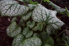 Lovely Leaves (Let Ideas Compete) Tags: jackfrost brunneramacrophylla
