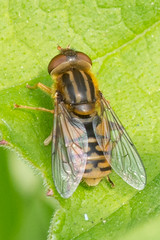 Hoverfly- Parhelophilus sp (linanjohn) Tags: uk macro nature wildlife insects lincolnshire syrphidae diptera hoverflies eristalinae parhelophilus snakeholmepit
