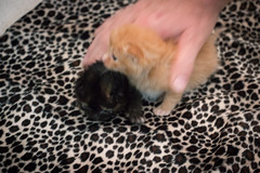 IMG_9467 (jaglazier) Tags: usa cats playing cute animals babies unitedstates tiger may indiana kittens siblings bloomington mammals blackie 2016 52416 copyright2016jamesaglazierandjamesaferguson