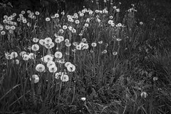 field of dandelions, going to seed, Lobster Cove Road, Monhegan, Maine, Nikon D40, Sigma 18-50mm EX DC Macro, 5.25.16 (steve aimone) Tags: blackandwhite floral monochrome field maine seed forms monhegan dandelions monheganisland nikond40 sigma1850mmexdcmacro