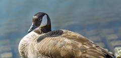 Duck (tomac_foto) Tags: zoo tiere duck natur tierpark ente tiefenschrfe tierportrait