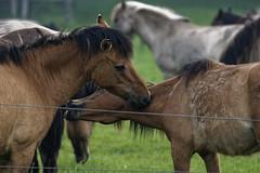 Mustangs and Wild Horses - 2016-0031_Web (berni.radke) Tags: horse pony mustang pferd nordrheinwestfalen colt wildhorse foal fohlen croy herde dlmen feralhorses wildpferdebahn merfelderbruch merfeld przewalskipferd wildpferd dlmenerwildpferd equusferus wildpferdefang dlmenerpferd dlmenpony herzogvoncroy wildhorsetrack