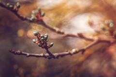 Spring (Psztor Andrs) Tags: light sun tree art nature lens photography leaf spring nikon hungary dof projector fine grlitz bud shallow dslr f28 meyer andras 80mm optik pasztor d5100 diaplan