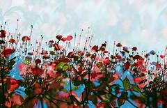 -Palette in early summer (Hodaka Yamamoto) Tags: park flower film garden spring lomography doubleexposure double multipleexposure poppy filmcamera doubles multiexposure filmphotography