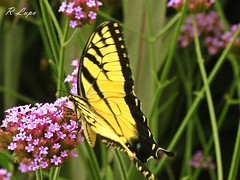 Chasing the Swallowtail, part deux (R.F. Lupo (random off and on-ness, more off)) Tags: flowers black flower green beautiful beauty yellow butterfly wings stripes bloom greenery swallowtail fluttering blooming bellsdaylilygarden