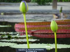 Longwood Gardens -20 (Webtraverser) Tags: gardens waterlily waterlilies longwoodgardens magichour sunsetting