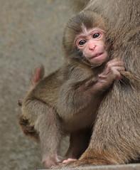 Japanese macaque Artis JN6A3553 (j.a.kok) Tags: artis macaque japanesemacaque makaak japansemakaak