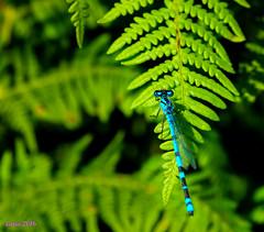 .....   ...... (loriagaon) Tags: espaa plants naturaleza macro nature animals plantas galicia animales damselfly pontevedra caballitodeldiablo loria loriagaon rx10lll sonyrx10lll sonydscrx10iii