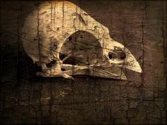 skull edit (Jackal1) Tags: skull bone