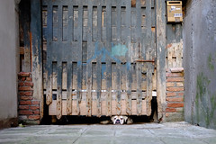 the dog (thedecentexposure) Tags: street travel dog travelling reisen europa europe flat stadt venedig stdte citiy