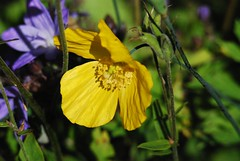 3327 Welsh poppy - Meconopsis cambrica (Andy panomaniacanonymous) Tags: 20160623 fff flowers meconopsiscambrica mmm photostream ppp welshpoppy www xanthic xxx yellow yyy
