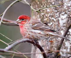 House Finch (TOTORORO.RORO) Tags: park canada reflection bird nature lens mirror reflex bc britishcolumbia sony richmond translucent marsh alpha 500mm f8 housefinch slt carpodacusmexicanus greatervancouver a55 sal500f80