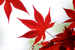 Japanese Maple Leaf (TexasEagle) Tags: red leaves texas japanesmaple grapevinebotanicalgardens beautifulworldchallenges acerpalmatums