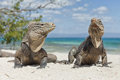 rosencrantz and guildenstern (eyebex) Tags: sea two beach nature animals island sand reptile cuba tropical 105 74 reptiles lizzards igaunas troical cool7 cool8 uncool4 iceboxcool cheers10 chuck5 isladeiguanas