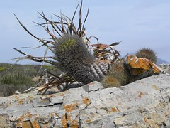 DSCN8396 (Robby's Sukkulentenseite) Tags: chile cactus cacti reise intermedia kaktus pichidangui kakteen eriosyce standort subgibbosa neoporteria rb2015 ka3387s ka4749s