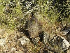 DSCN8542 (Robby's Sukkulentenseite) Tags: chile cactus cacti coquimbo reise kaktus kakteen eriosyce tongoy standort subgibbosa neoporteria nigrihorrida rb2027 ka4151s