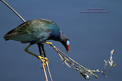Purple Gallinule (Porphyrio martinica) (Sharon's Bird Photos) Tags: bird nature water spring wildlife 2012 palmbeachcounty wakodahatcheewetlands purplegallinule porphyriomartinica specanimal floridabirding newlifer exploredapril28