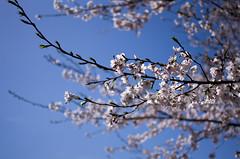 IMGP6878 (Amad) Tags: flower japan spring   sakura kiryu
