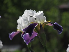 HAPPY BIRTHDAY, DAVID!!!:))) (halina.reshetova) Tags: birthday flowers iris plant flower green nature yellow petals violet flowering blooming takenwithlove awesomeblossoms hennysgardens floralaromas