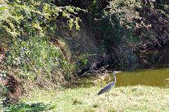 Victoria Falls_2012 05 24_1683 (HBarrison) Tags: hbarrison harveybarrison tauck victoriafalls zimbabwe zambeziriver mosioatunya yellowbilledegret taxonomy:binomial=mesophoyxintermedia