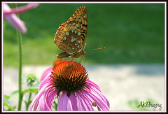 Pretty Little Butterfly (akgregory26) Tags: butterfly m coneflower mygarden macromarvels colorsoftheheart coth5
