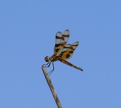 Halloween Pennant (Celithemis eponina) (Victor W. Fazio III) Tags: oklahoma dragonfly insects documentation odonata halloweenpennant celithemiseponina cottoncounty