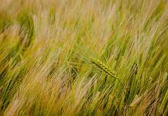 Six-row barley volunteer in spring barley (CropShot) Tags: barley ear 6row