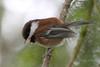 Baby Chickadee (Peggy Collins) Tags: canada bokeh britishcolumbia chickadee babybird sunshinecoast chestnutbackedchickadee birdonbranch fledglingbird peggycollins babychickadee fledglingchickadee chickadeeonbranch