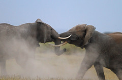 Clash of the Titans (Rainbirder) Tags: ngc npc amboseli loxodontaafricana africanbushelephant africansavannaelephant rainbirder