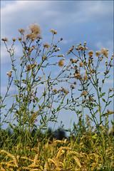 August (Helmut Reichelt) Tags: leica germany deutschland bavaria sommer natur oberbayern landschaft m9 weizen feldrand geretsried colorefexpro viveza2 böhmwiese leicateleelmaritm90mmf28ii